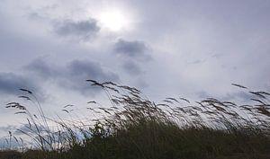 gras helmen in de duinen