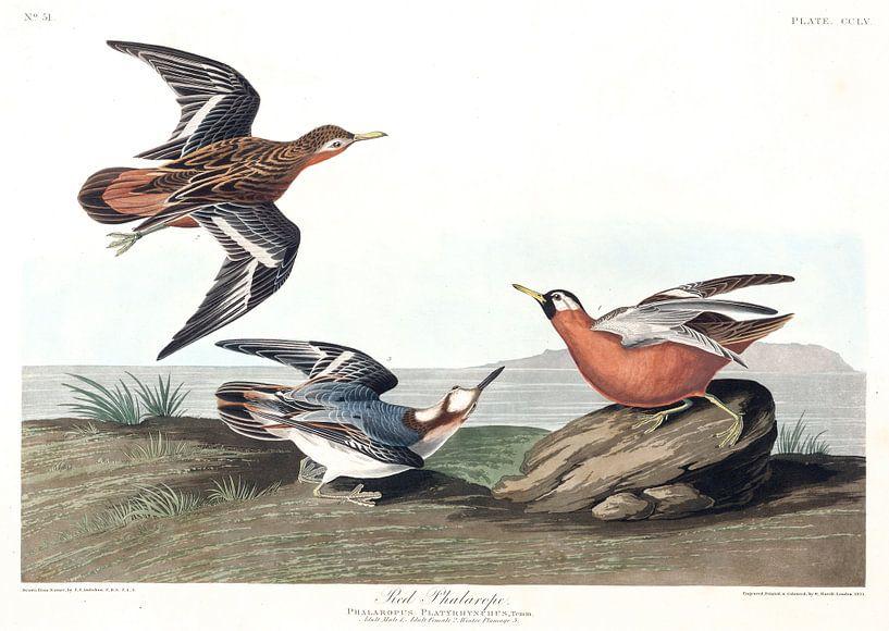 Rosse Franjepoot van Birds of America