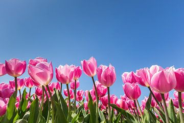 Roze tulpen in bloemenveld met blauwe lucht van Ben Schonewille