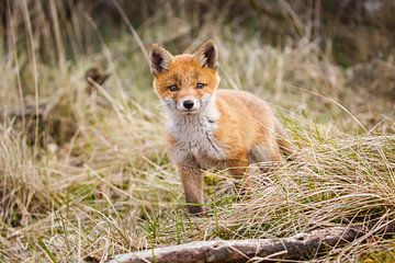 jonge vos von Pim Leijen