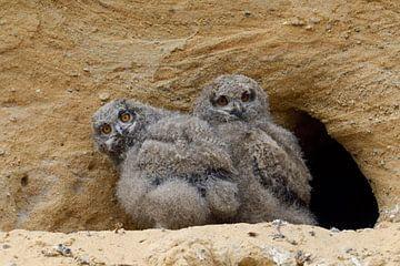 Uhus ( Bubo bubo ), Jungvögel sitzen am Eingang zu ihrer Nisthöhle, zwei lustige Gesellen von wunderbare Erde