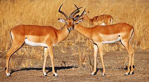 Männer-Freundschaft, Impalas, Afrika wildlife
