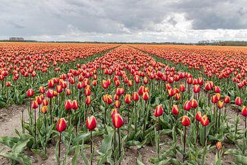 Gelb und Orange Tulipfield von Nick Janssens
