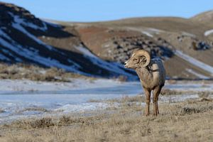 Rocky Mountain Bighorn Sheep ( Ovis canadensis ), ram on a sunny day in winter, National Elk Refuge,