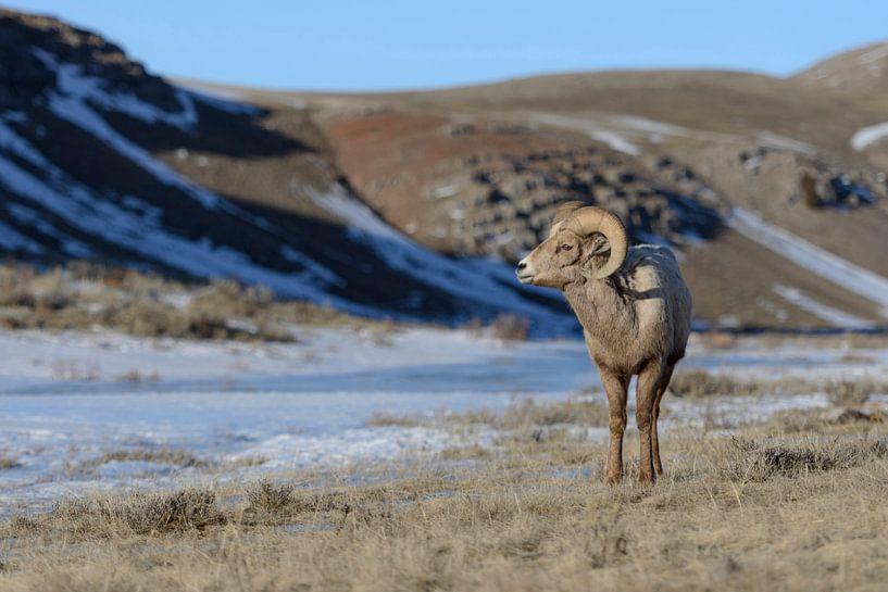 Rocky Mountain Bighorn Sheep ( Ovis canadensis ), ram on a sunny day in winter, National Elk Refuge, van wunderbare Erde