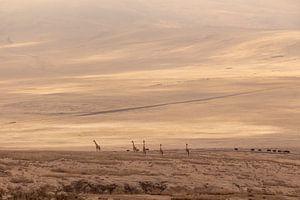 Giraffen in Ngorongoro Crater