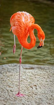 Flamingo Porträt zeigt isoliert Vogel stehen auf einem Bein von Mohamed Abdelrazek