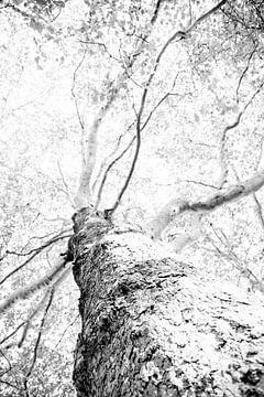 Boom van onder bekeken | Zwart wit print | In Nederlands park van Wendy Boon