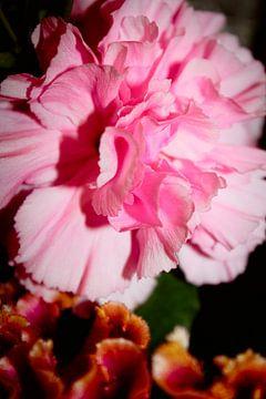 Anjer roze van Coco Korse