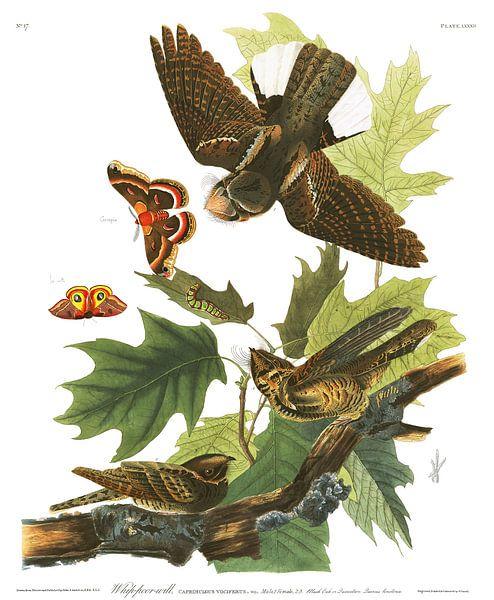 Whippoorwill van Birds of America