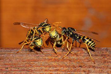 Die Wespen Gang