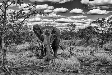 Elefant im Busch schwarz-weiß von Senten-Images Carlo Senten