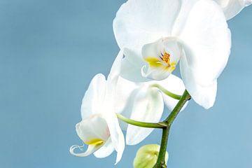 Witte orchidee op een lichtblauwe achtergrond van Nannie van der Wal
