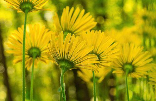 Geel van de lente! Zonnebloemen