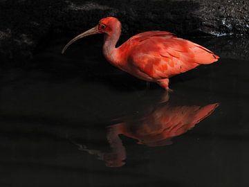 Rode Ibis : Diergaarde Blijdorp van Loek Lobel