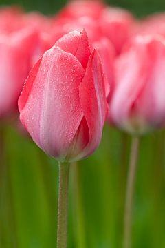 Roze tulpen - Keukenhof van Tamara Witjes