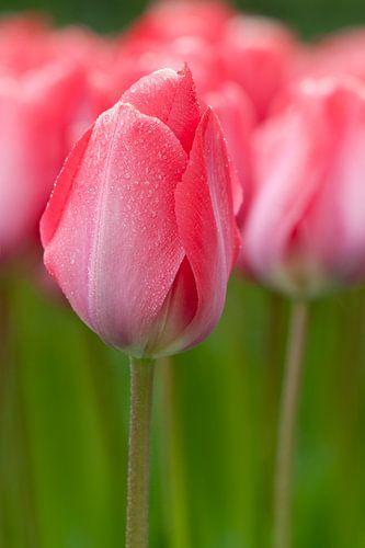 Roze tulpen - Keukenhof