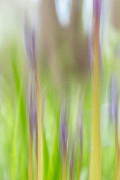 Wilde hyacinten van D. Henriquez