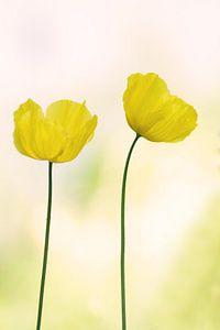 Papaver ( gele bloem)
