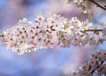 Prunus bloem van