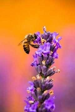 Insect op lavendel von Joke Beers-Blom