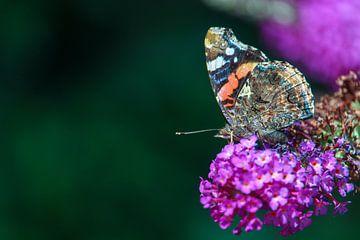 Schmetterling auf Schmetterlingsbusch von Natalie van der Hoeven