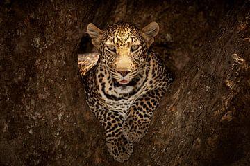Leopard rusten op een boom in Masai Mara, Ozkan Ozmen van 1x