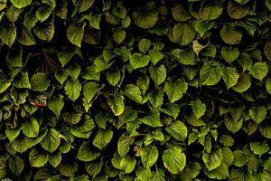 Hydrangea petiolaris sur Arc One