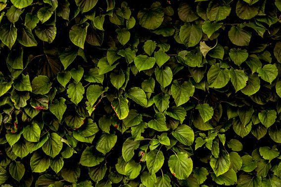 Hydrangea petiolaris von Arc One