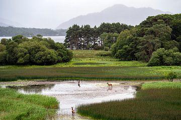 Hirsche in der wunderschönen Landschaft von Killarney, Irland von elma maaskant