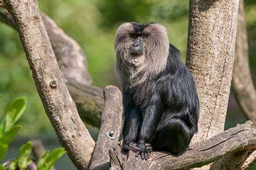Löwenschwanz-Makako : Zoo Blijdorp von Loek Lobel