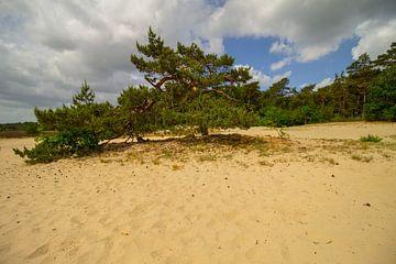 Groene boom in de zand duinen in Nationaal Park in Noord-Brabant van Marco Leeggangers