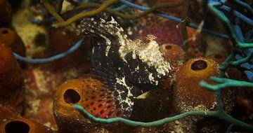 Zoek de frogfish van