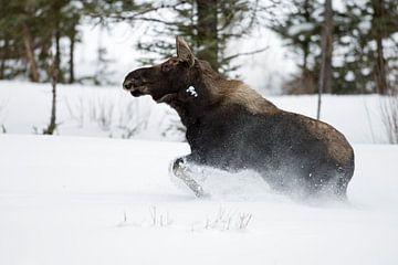 Mossen ( Alces alces ) in de winter, jonge stier, gewei, rennen, vluchten door diepe sneeuw, Yellows van wunderbare Erde