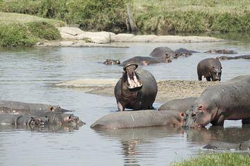 brullend nijlpaard van Laurence Van Hoeck