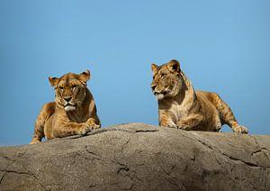 Twee Leeuwen van