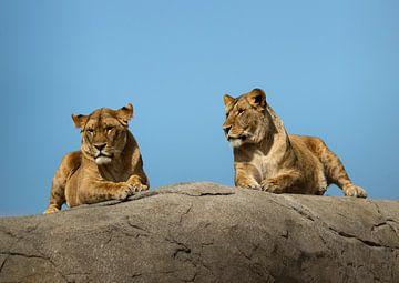 Twee Leeuwen van Martin Smit