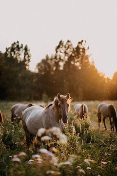 Konik paard in natuurgebied tijdens zonsondergang van Yvette Baur