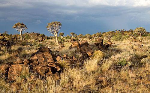 kokerbomen woud in Namibië van