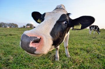 Nieuwsgierige koe van Mark Bolijn