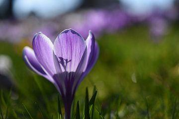Crocus op een lente dag von