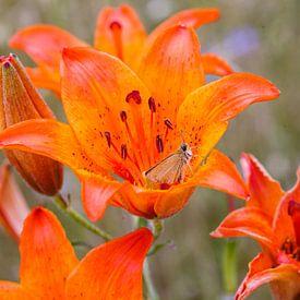 Oranje roggelelie met vlinder bij Govelin in Duitsland van Martin Stevens