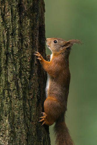 Rode eekhoorn op boom van Richard Guijt