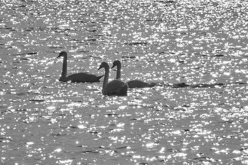 3 Zwanen zwemmend op fonkelend water  van