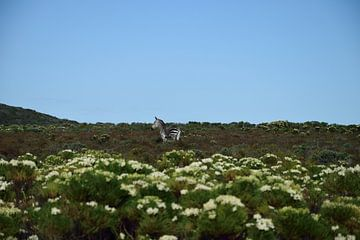 Zebra bei Kapstadt Südafrika von Merijn Loch