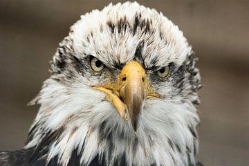 Eagle sur Paul Hinskens