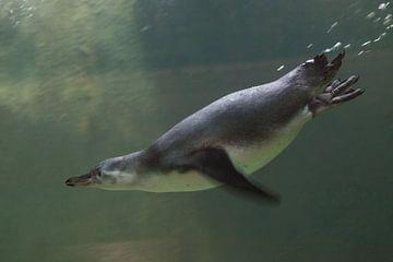 Pinguin in Nahaufnahme schwimmt im Wasser Unterwasserfoto, i in Grüntönen. von Michael Semenov