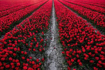 Rood Tulpenveld van Arthur Puls Photography