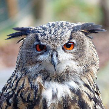 Eurasian Eagle-Owl, Uhu van Ralf Schroeer