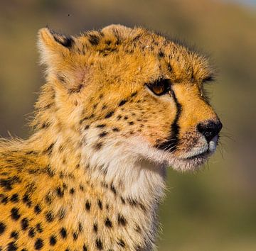 Zo snel als een Cheeta van Linda van der Steen